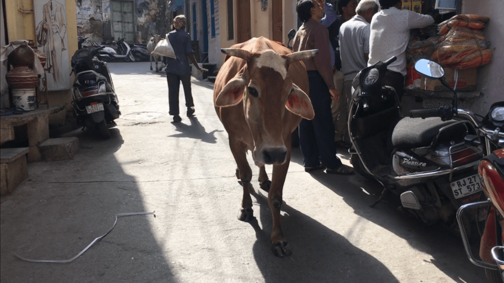 cow mucca india