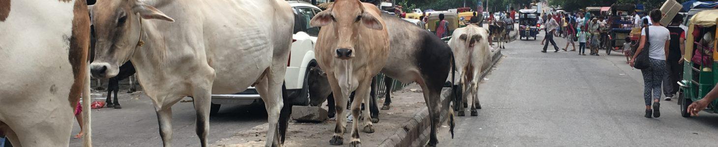 Nascere mucca in India – è una bella vita?