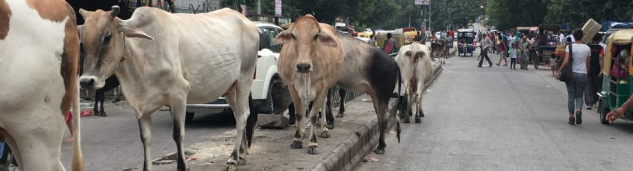 How's life as an Indian cow?