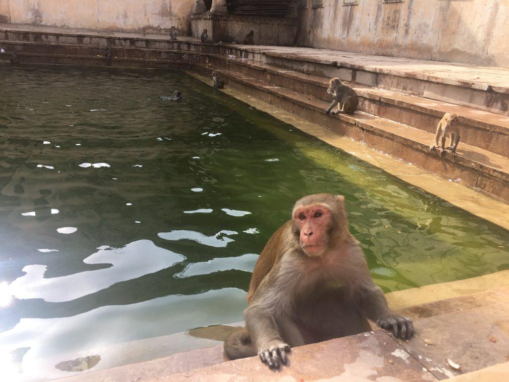 tempio scimmie monkey india jaipur