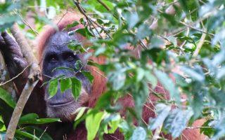 Orango Tango: l'incontro nella giungla di Sumatra