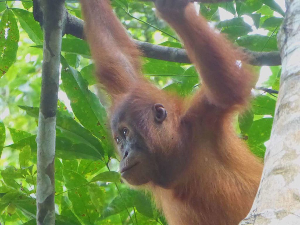 orango tango sumatra